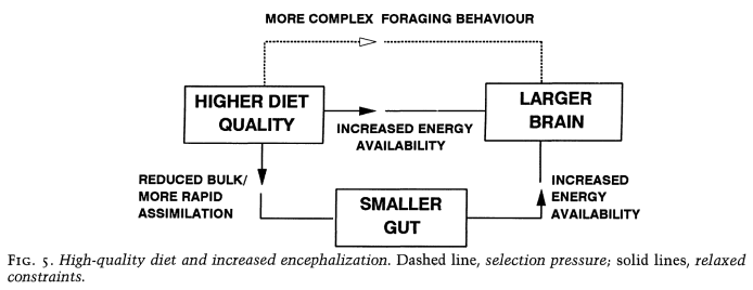 gut_brain_cycle_Aiello_Wheeler_1995